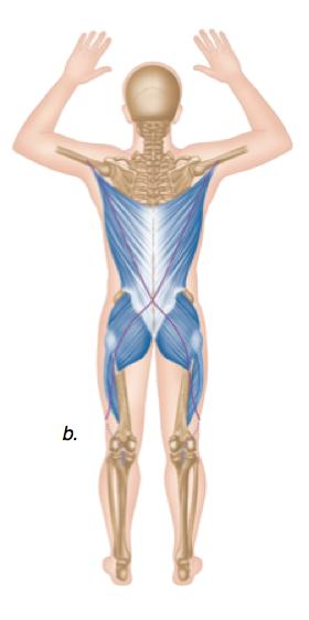 Hintere/dorsal-diagonale Muskelkette