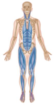 Vordere/ventrale Muskelkette