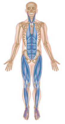 Vordere/ventrale + diagonale Muskelkette