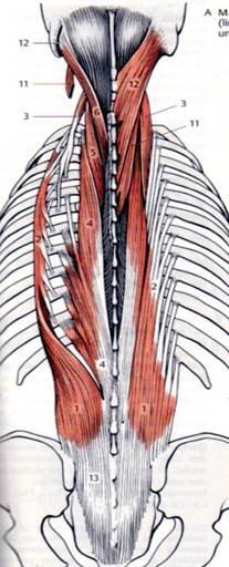 Rückenstrecker + BWS-Rotation - Variante c