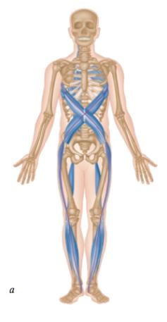 Vordere/ventral-diagonale Muskelkette